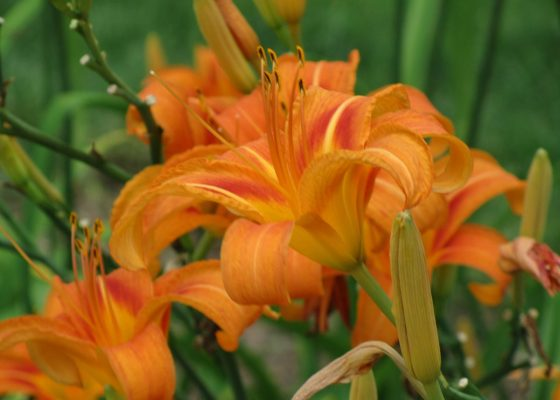 Daylily in early summer garden